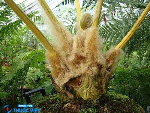Điểm mặt những công dụng thần kỳ đến từ cây lông cu li