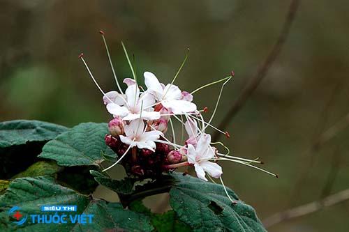 Các bài thuốc hay từ cây bạch đồng nữ