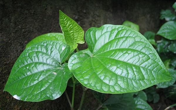 Điều trị bệnh đổ mồ hôi tay và chân từ cây lá lốt