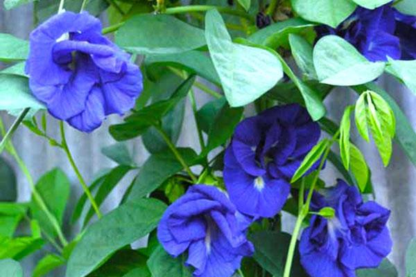Tổng hợp những lợi ích sức khỏe từ hoa đậu biếc