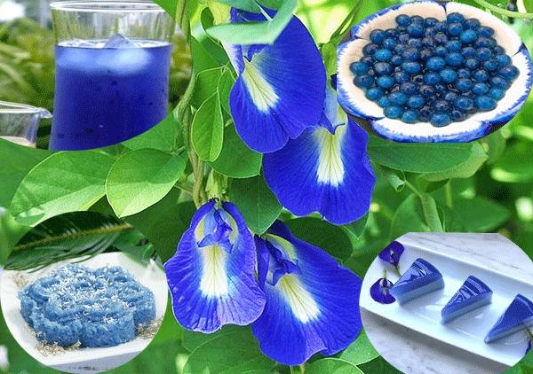 Hoa đậu biếc không chỉ đẹp mà còn mang nhiều lợi ích về sức khỏe